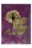 Rose 4 Fine Art Print