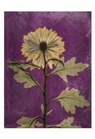 Chrysanthemum Purple II Fine Art Print