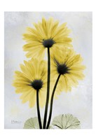 Golden Gerbera 1 Fine Art Print