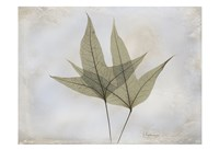 "Trident Maple by Albert Koetsier - 19"" x 13"", FulcrumGallery.com brand"