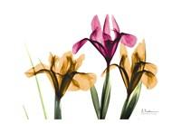 """Iris by Albert Koetsier - 19"""" x 13"""""""