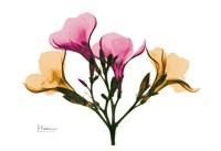 """Oleander by Albert Koetsier - 19"""" x 13"""""""