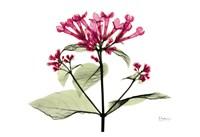 "Bouvardia - Pink by Albert Koetsier - 19"" x 13"""