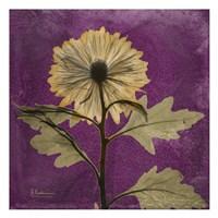 Chrysanthemum Purple III Fine Art Print