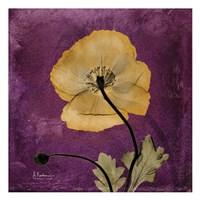 "Iceland Poppy 11 by Albert Koetsier - 13"" x 13"" - $12.99"