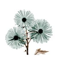 "Chrysanthemum Love by Albert Koetsier - 13"" x 13"", FulcrumGallery.com brand"