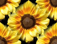 Sunflower 26 Fine Art Print
