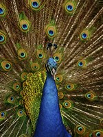 Peacock by Paul Sawyer - various sizes