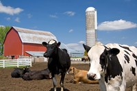 Cows, red barn, silo, farm, Wisconsin Fine Art Print