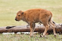 Baby Bison, Yellowstone National Park, Wyoming by Adam Jones - various sizes