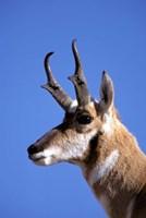 Wyoming, Yellowstone NP, Male Pronghorn Wildlife by Adam Jones - various sizes