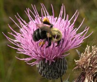 Thistle and bumble bee Fine Art Print