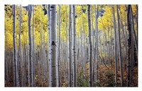 Birch Woods Fine Art Print