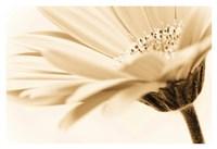 "Daisy by PhotoINC Studio - 38"" x 26"""
