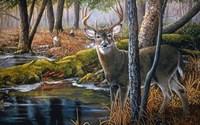 Beaver Pond Buck Fine Art Print