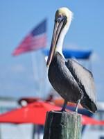 Patriotic Pelican Fine Art Print