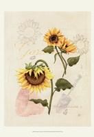 Romantic Sunflower I Framed Print