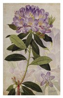 Rhododendron II Framed Print