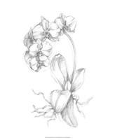 """Botanical Sketch V by Ethan Harper - 18"""" x 22"""""""