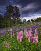 Lupines on the Hill by Michael Blanchette Photography - various sizes