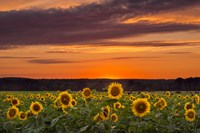Sunset over Sunflowers by Michael Blanchette Photography - various sizes