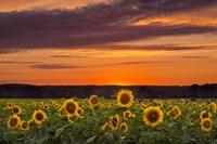 Sunset over Sunflowers Fine Art Print