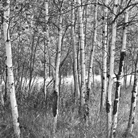 Birch Forest Fine Art Print