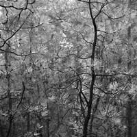 Pine Bramble Fine Art Print