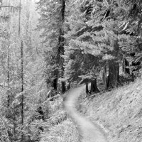 Pine Path by Erin Clark - various sizes