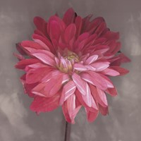 Pink Zinnia by Erin Clark - various sizes