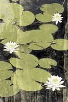 Pond Blossoms Fine Art Print