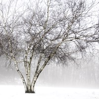 Winter Birch by Erin Clark - various sizes, FulcrumGallery.com brand