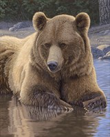 Cool Down - Grizzly Fine Art Print