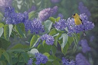 Hint of Gold - Goldfinch and Lilacs Fine Art Print