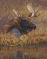 Nested in Teton - Moose Fine Art Print