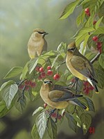 Three's Company - Cedar Waxwings Fine Art Print