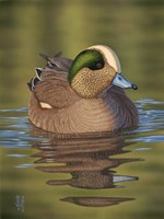 Wigeon by Jeffrey Hoff - various sizes