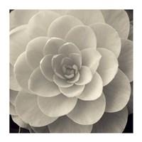 Camellia I Fine Art Print