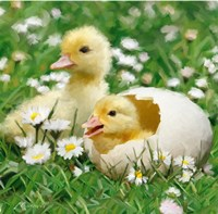 Easter Chicks 1 Fine Art Print