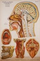 American Frohse Anatomical Wallcharts, Plate 7 Fine Art Print