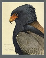 Abyssinian Bateleur Eagle by Print Collection - various sizes