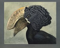 Abyssinian Crested Hornbill by Print Collection - various sizes