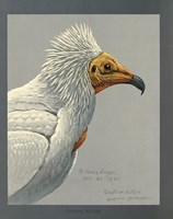 Abyssinian Egyptian Vulture by Print Collection - various sizes