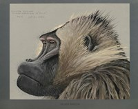 Abyssinian Gelda Baboon by Print Collection - various sizes