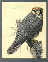 Abyssinian Lanner by Print Collection - various sizes