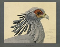 Abyssinian Secretary Bird by Print Collection - various sizes