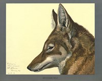Abyssinian Wolf by Print Collection - various sizes - $47.99