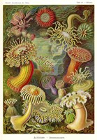 Actiniae - Scheiben-Strahlinge - Heliodiscus by Print Collection - various sizes - $42.99