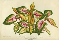 Alternanthera Amabilis Tricolor by Print Collection - various sizes, FulcrumGallery.com brand