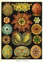 Ascidiae by Print Collection - various sizes
